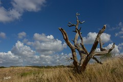 Still standing (The world in f stops) Tags: grass serene blue sky clouds landscape nature tree europe netherlands northholland dunes
