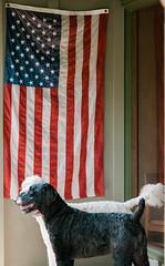 Patriotic Poodles (Kasandra_A) Tags: americanflag pets dogfriends gary patriotic