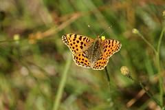 Butterfly (janrs7) Tags: buttterfly queenofspainfritiallary summer colours contrasts bokeh handheld manuelfocus sonyemount55210mm smoothbokeh