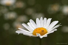 Daisy bokeh (ExeDave) Tags: p5279400 oxeye daisy leucanthemum vulgare ludwell valley park pyneshill exeter devon sw england gb uk plant flora flower wildflower asteraceae compositae composite aster nature city urban greenspace may 2018 bokeh flies