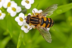 Hoverfly? on Alyssum (Katy on the Tundra) Tags: hoverfly insect alyssum