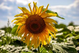 Alstede Farm Sunflower_4049