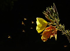 Hundreds of Hoverflies..x (Lisa@Lethen) Tags: hoverflies swarm hoverfly nature wildlife flower eveningprimrose sweet smell perfume backlit