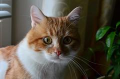 Portrait (Luniul) Tags: cat pet redcat animal