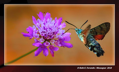 Bufaforats o papallona colibrí 13 (Macroglossum stellatarum) Hummingbird Hawk-moth (Rafel Ferrandis) Tags: bufaforats papallona flor escabiosa fontparra carcaixent macro eos7dmkii ef100400mmf4556lii insecte