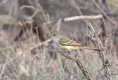 Ash-throated Flycatcher (jonathanirons28) Tags: ashthroatedflycatcher arizona april nikon d500