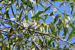 Bell's Vireo (3412) (Bob Walker (NM)) Tags: bird perching twig tree vireo bellsvireo vireobellii bevi oceanside california usa
