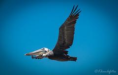 Close-up pelican at La Jolla, CA (KHanFotos) Tags: wildlife photography canon birds travel california la jolla beach summer san diego