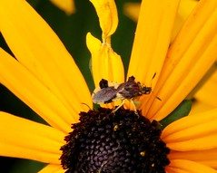 Insect and arachnid crawl (REGOR NOTPUL) Tags: insects arachnids ambush bugs jumping spiders potter mason wasp fly cross orb weaver glenburnie ontario