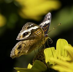 CommonBuckeye_SAF3805-2 (sara97) Tags: butterfly commonbuckeye copyright©2018saraannefinke insect missouri nature photobysaraannefinke saintlouis towergrovepark