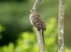 Inca Dove --- Columbina inca (creaturesnapper) Tags: xandariresort costarica doves birds incadove columbinainca