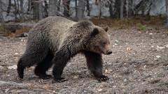 Grizzly cub (Hammerchewer) Tags: grizzlybear bear cub wildlife animal outdoor yellowstone