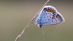 Heideblauwtje - Silver-studded blue (Wim Boon (wimzilver)) Tags: wimboon heideblauwtje vlinder canoneos5dmarkiii canon100mmf28lismacro detail macro macrofotografie nederland netherlands natuur nature