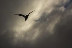 Vuelo austral (Diego_Valdivia) Tags: contraluz backlight gaviota seagull aves birds vuelo flight nubes clouds porvenir tierradelfuego magallanes patagonia chile landscape paisaje austral canon eos 60d