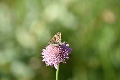 Hesperiidae (esta_ahi) Tags: santmagídelabrufaganya lepidoptera insectos fauna mariposa papallona butterfly nymphalidae hesperiidae santmagídebrufaganya pontils concadebarberà tarragona spain españa испания
