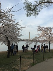 #Cherry #blossoms #festival #2016 @ the #National #Mall #sfamilytravels #Washington #DC #USA 🌸 (Travel Galleries) Tags: cherry blossoms festival 2016 national mall sfamilytravels washington dc usa
