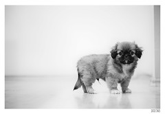 Kugy (Aljaž Anžič Tuna) Tags: dog puppy pekingese small young photo365 project365 portrait portraitunlimited onephotoaday onceaday 365 35mm 365challenge 365project nikond800 nikkor nice nikon nikon105mmf28 105mmf28 f28 d800 dailyphoto day bw blackandwhite black white blackwhite beautiful