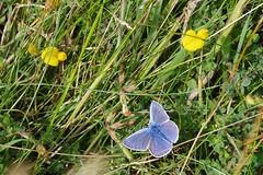 Common Blue Butterfly (Derek Morgan Photos) Tags: dorset oldnicksground studland commonbluebutterfly butterfly commonblue