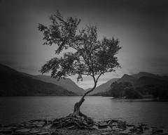 High and Dry (Glenn D Reay) Tags: llynpadarn tree mono blackandwhite moody lonely solitary mountains vignette pentaxart pentax k70 sigma1770hsm glennreay