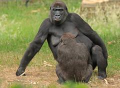 Western lowlandgorilla N`Gayla Burgerszoo JN6A5796 (j.a.kok) Tags: gorilla westelijkelaaglandgorilla westernlowlandgorilla lowlandgorilla laaglandgorilla animal africa afrika aap ape burgerszoo mammal monkey mensaap primate primaat zoogdier dier ngayla