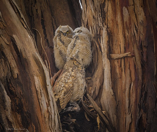 20180506a_0147_Great Horned Owl
