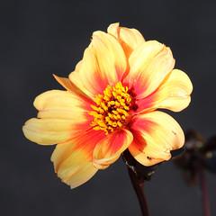Chance to Shine (Treflyn) Tags: dahlia evening sun back patio plant garden earley reading berkshire uk