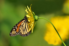 MonarchLooksRight2 (Rich Mayer Photography) Tags: monarch viceroy insect insects butterfly butterflies flower flowers plant macro nikon