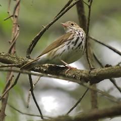 Ovenbird On Branch, Falmouth Nature Preserve (Bill Bunn) Tags: ovenbird falmouth maine