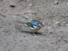 ... és kap (ossian71) Tags: spanyolország spain kanáriszigetek canaryislands gomera lagomera garajonay természet nature állat madár bird