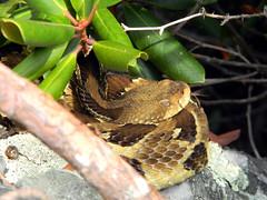 Crotalus horridus (timber rattlesnake) (nicholasrmassey) Tags: crotalus horridus timber rattlesnake snake fauna reptile venomous predator macro
