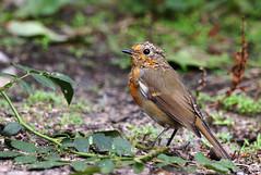 Juvenile Robin. (Chris Kilpatrick) Tags: chris canon canon7dmk2 outdoor wildlife nature animal bird robin douglas isleofman sigma150mm600mm august springwatch garden