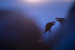 Razorbill pair (Benjamin Joseph Andrew) Tags: bird seabird coastal island summer ocean sea coastline two courting displaying talking bluehour sunset
