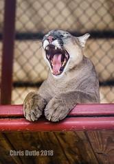 Mountain Lions Love Iron Maiden (montusurf) Tags: cougar mountain lion puma feline cat predator care centerforanimalresearchandeducation texas bridgeport sing teeth cassie