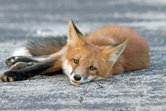 Take It Easy (marylee.agnew) Tags: red fox vulpes relaxed city pavement nature wildlife outdoor canine summer beauty