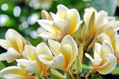 Bouquet de Plumeria Tipanier (Christian Chene Tahiti) Tags: canon 400d plumeria fleur flore flower bouquet tipanier tipanie frangipanier blanc vert jaune white yellow extérieur couleur color newtown sydney australie australia fleurdaustralie nsw