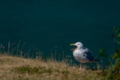 Shout (sdupimages) Tags: oiseau bird gull göeland sea coast mer nature animal bokeh