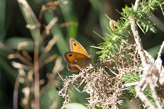 Gatekeeper (Pyronia tithonus) - Woodbury Common, Devon - 24 July 2018