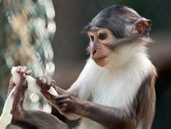 whitecapmangabey Blijdorp JN6A9507 (j.a.kok) Tags: animal africa afrika aap monkey mammal mangabey blijdorp witkruinmangabey whitecapmangabey zoogdier dier