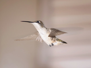 Ruby-throated hummingbird in mid-hover
