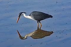Pied Heron (Uhlenhorst) Tags: 2009 australia australien animals tiere birds vögel travel reisen