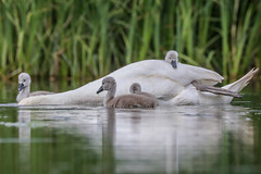 This submarine is cool, it even has a working periscope (Paul Wrights Reserved) Tags: swan swans cygnets cygnet chck chicks baby babies babybird babyswan family floating navy submarine floatila cute beautiful