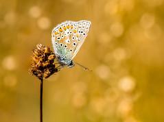 Common Blue and Quaking Grass (Peter Quinn1) Tags: commonblue butterfly quakinggrass bokeh macro dorset fontmelldown
