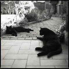 Black Cats (Erwan Bela) Tags: hasselblad 501cm fomapan 100 xtol13 120 6x6 cats