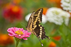 COLORFUL (ddt_uul) Tags: butterfly swallowtail zinnia pink green white sip insect red summer nature