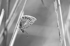Common Blue Butterfly (Pittypomm) Tags: 2018p52 week33 bnw monochrome bw blackandwhite common blue butterfly male polyommatus icarus grass macro insect animal