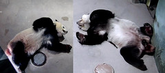Tian and Bei (Like father, like son) 2018-08-15 at 11.44.19 & .49.45 AM (MyFoto:)) Tags: ccncby panda cub endangered vulnerable beibei tiantian smithsonian nationalzoo sleeping