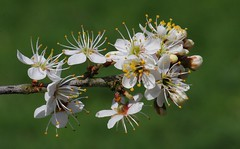 Blackthorn 180418 (1) (Richard Collier - Wildlife and Travel Photography) Tags: flowersenglishflowers flowers wildflowers white whiteflowers naturalhistory nature macro closeup blackthorn naturethroughthelens coth5