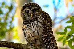 Owl (_Lionel_08) Tags: owl bird nature wild wildlife swamp louisiana