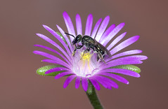 Small Apidae sp. on Drosanthemum flower