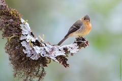 Tufted flycatcher-0163 (dennis.zaebst) Tags: centralamerica costarica bird animal wild flycatcher tuftedflycatcher passerine lichen